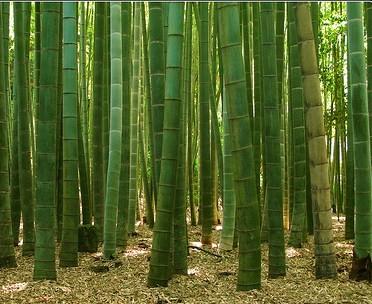 El primer bosque de bamb utilizado para generar biomasa el blog de la energ a sostenible - Cultivo del bambu ...